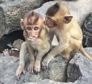 The cheeky Lopburi monkeys!