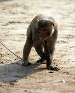 A monkey in chains being exploited within the animal tourism industry