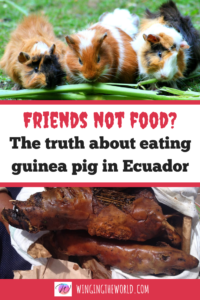 Friends not food? The truth about eating guinea pig in Ecuador.