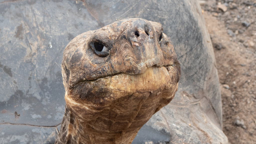 The Giant Land Tortoise is definitely an animal you should prepare to see on your Galapagos trip!