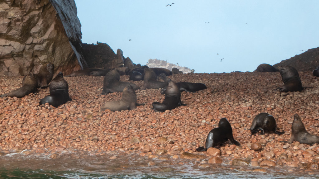 Sea Lions on Poor Man's Galapagos, Islas Ballestas
