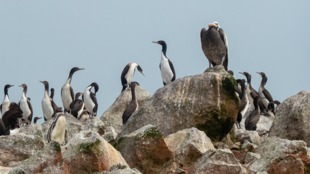 Boobys on Isla Ballestas, Poor Man's Galapagos Peru