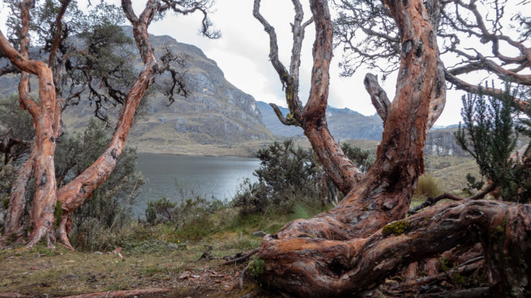 Cajas National Park - Polylepis forest