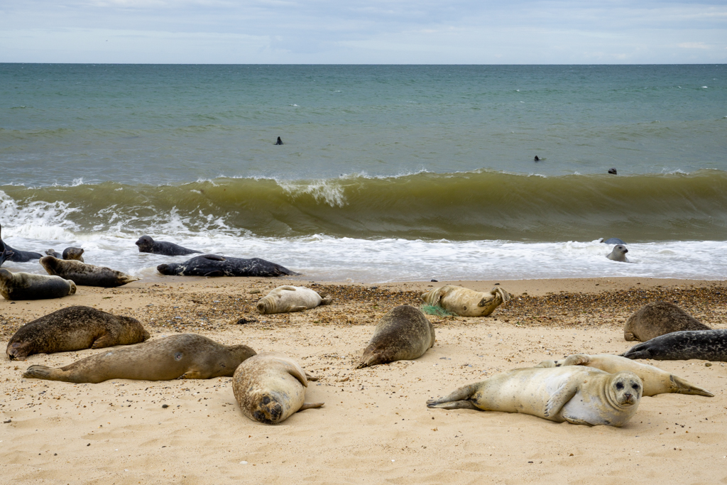 Visiting the Seals at Horsey: Calling All Wildlife Enthusiasts!