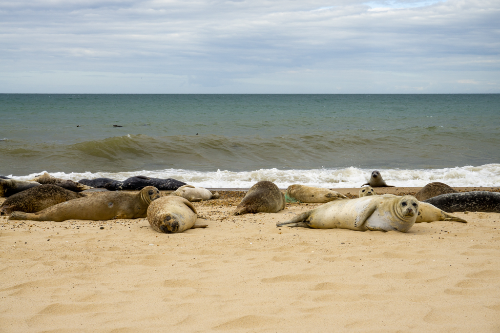 Seals on the beach at Horsey
