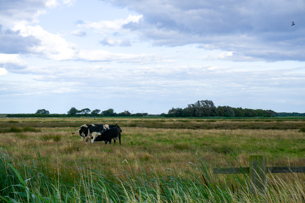 Cow with calf in field