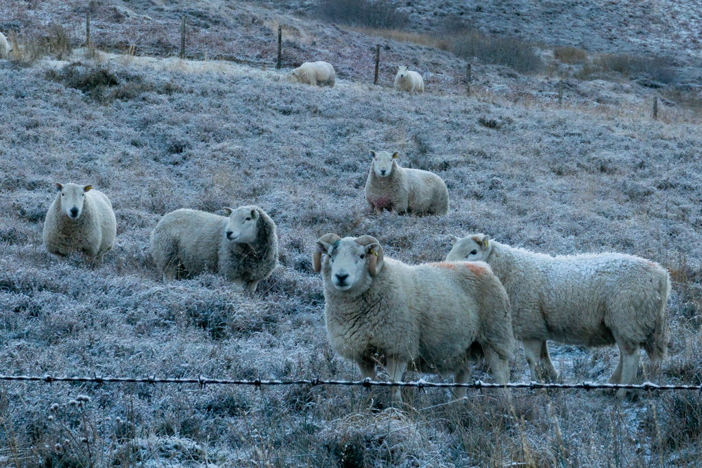 Sheep in field during icy weather
